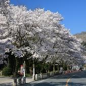 宝登山参道沿いの桜