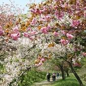 長瀞通り抜けの桜